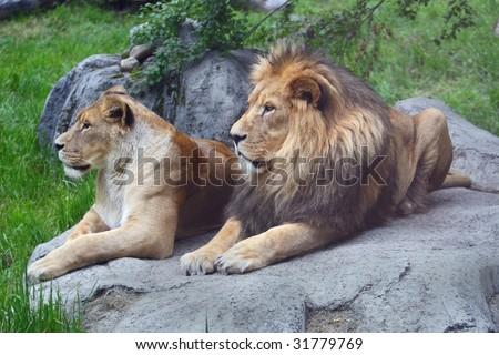 lion mates - stock photo