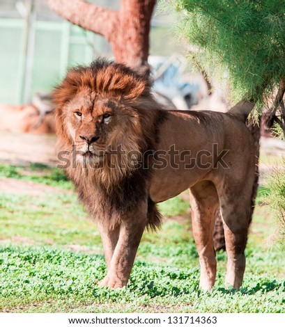 lion on on a walk - stock photo