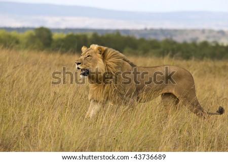 Lion on plains - stock photo