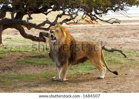 Lion on Safari - stock photo