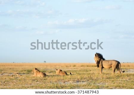Lion on the open bushveld - stock photo