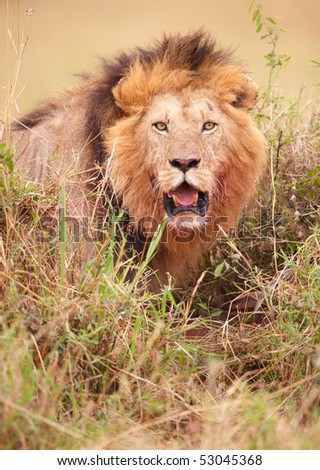 Lion (panthera leo) about to strike in savannah in South Africa - stock photo