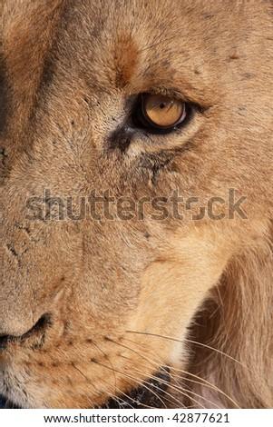 Lion (panthera leo) close-up of the head - stock photo