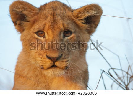 Lion (panthera leo) cub sitting in savannah in South Africa - stock photo