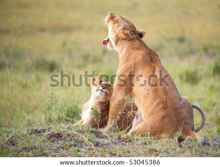 Lion (panthera leo) cub sitting with his mother in savannah in South Africa - stock photo