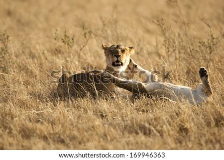 Lion, Panthera leo, playing in the grasses of the Lower Mara, Masai Mara GR, Kenya - stock photo