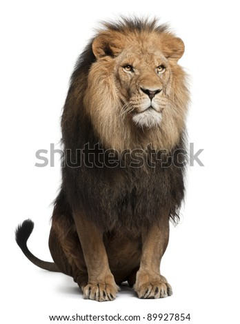 Lion, Panthera leo, 8 years old, sitting in front of white background - stock photo