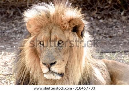 Lion Park Johannesburg Lion Panthera leo - stock photo