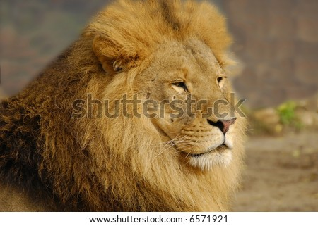 Lion- portrait - stock photo