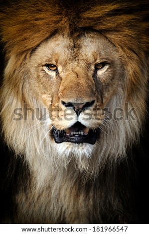 Lion portrait on black background - stock photo