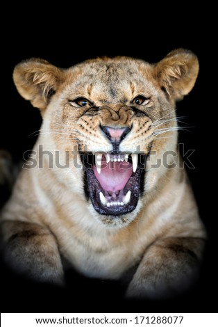 Lion portrait on dark background - stock photo