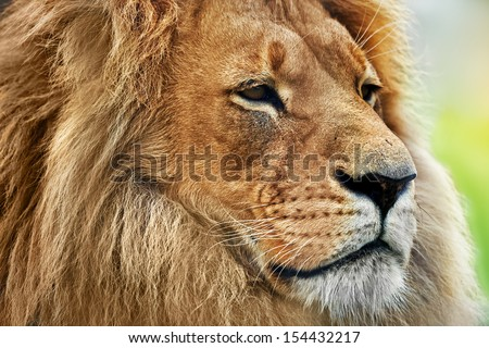 Lion portrait on savanna, safari. Big adult lion with rich mane. - stock photo