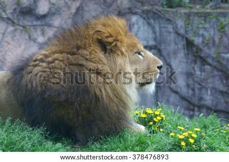 lion portrait on the grass - stock photo