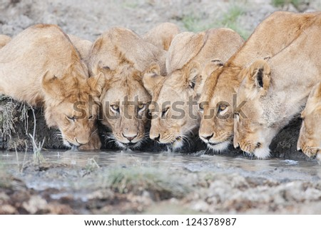 Lion pride drinking water - stock photo