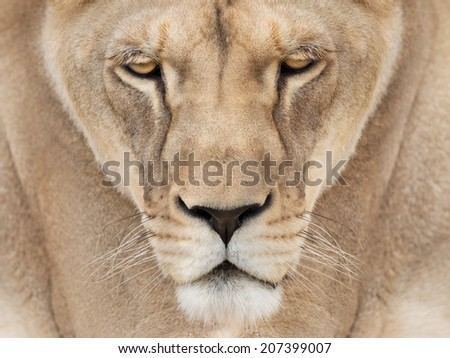 Lion queen - stock photo