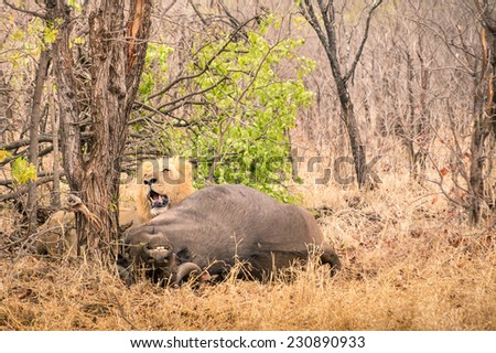 Lion ready to eat a buffalo after hunting in the bush woods in South Africa savannah - Concept of nature laws and wild food chain - stock photo