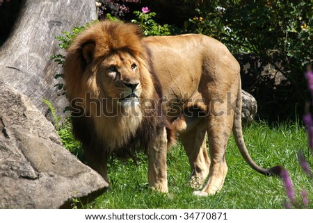 lion ready to hunt - stock photo