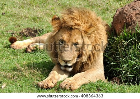 Lion, rest, Africa - stock photo