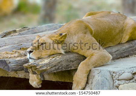 Lion resting - stock photo