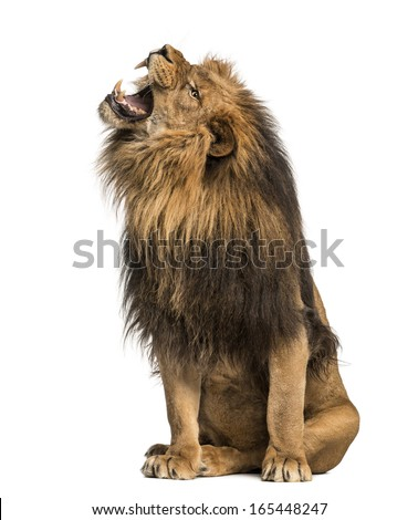 Lion roaring, sitting, Panthera Leo, 10 years old, isolated on white - stock photo