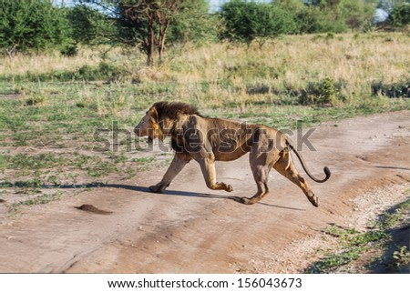 Lion runs across the road, he seeks a new territory in the Tarangire National Park in Tanzania - stock photo