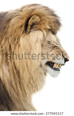 Lion's rage or sorrow - stock photo