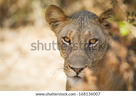 Lion, Samburu National Reserve, Northern Kenya, East Africa - stock photo