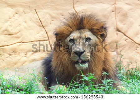 Lion tongue - stock photo