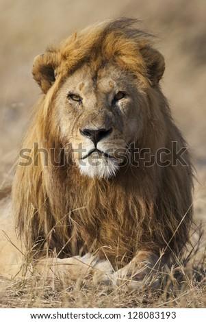 Lion with golden mane, Serengeti National Park - stock photo