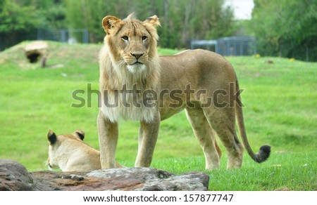 Lion With Mate - stock photo
