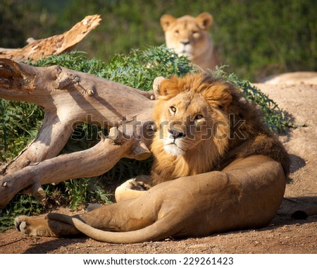 lion with mate looking at camera - stock photo