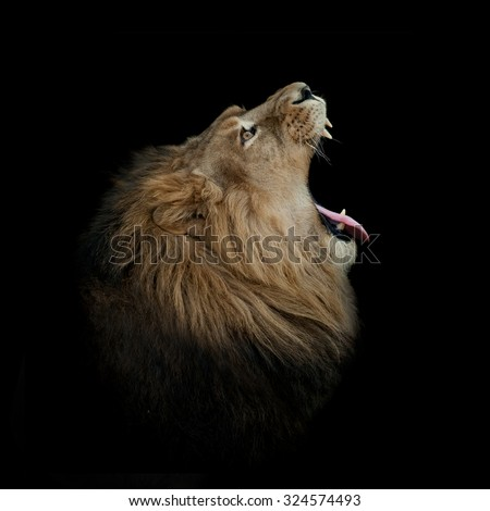 lion yawning on black profile - stock photo