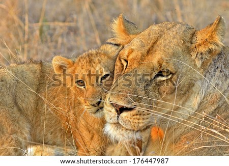 Lioness and cub - stock photo