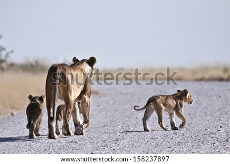 Lioness and cubs - stock photo
