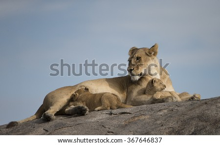 Lioness and cubs on granite outcrop in Serengeti Tanzania - stock photo