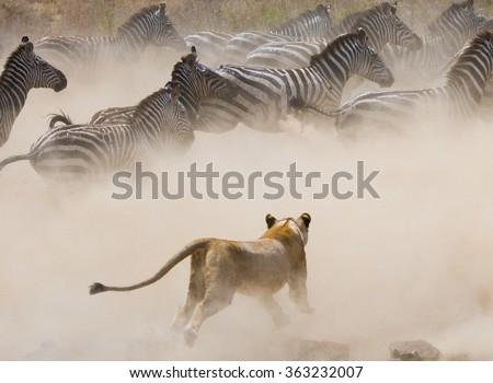 Lioness attack on a zebra. National Park. Kenya. Tanzania. Masai Mara. Serengeti. An excellent illustration. - stock photo