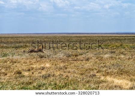 Lioness chasing prey on the Serengeti National Park, Tanzania - stock photo