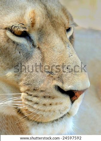 Lioness closeup - stock photo