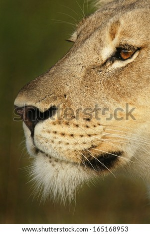 Lioness face - stock photo