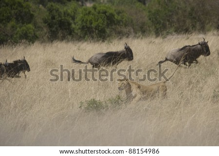 Lioness hunting Wildebeest in the Masai Mara - stock photo
