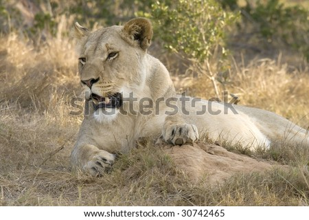Lioness in an Eastern Cape reserve. - stock photo