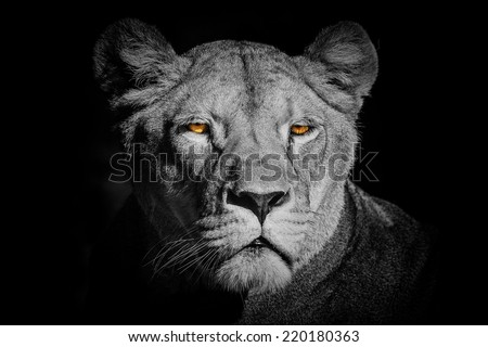 lioness in black and white - stock photo