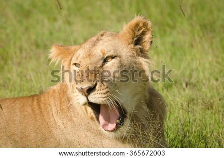 Lioness in Masai Mara, Kenya - stock photo