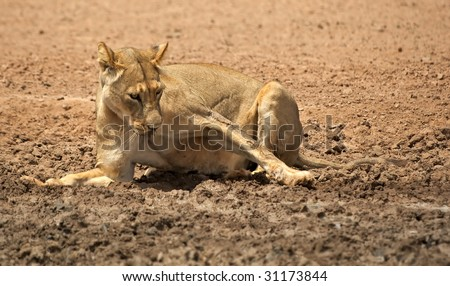 Lioness in mud - stock photo