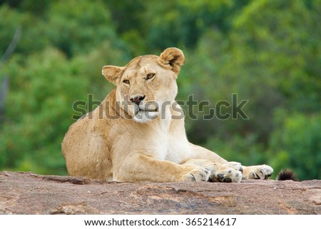 Lioness in savannah - stock photo