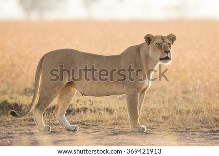 Lioness in the early morning in the Serengeti, Tanzania - stock photo
