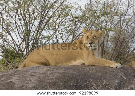 Lioness in the Masai Mara - stock photo