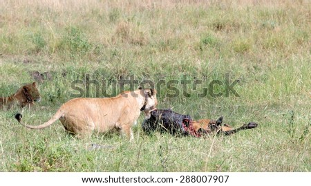 Lioness killing a wildebeast in the Masai Mara - stock photo