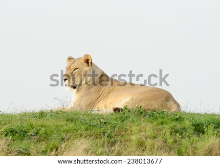 Lioness laying on grass looking alert and staring - stock photo