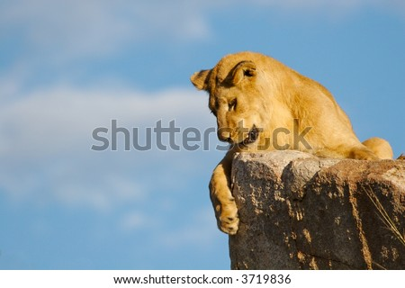 Lioness looking down - stock photo